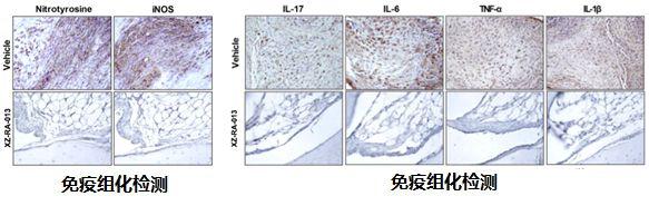 大鼠關節炎模型.jpg