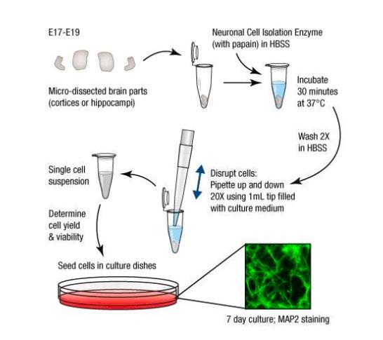 原代细胞.jpg