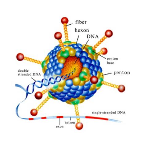 腺病毒結構示意圖